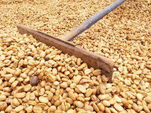 coltivazione del caffè